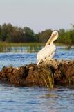 Pelikan som ansar på solnedgången i Donaudelta Arkivbild