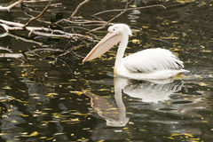 Pelikan som bara simmar i ett damm med reflexion Royaltyfri Fotografi