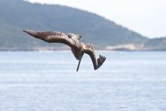 Pelikan som bombarderar för fisk Arkivfoto