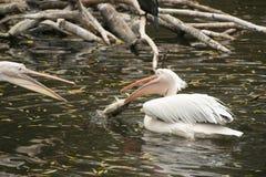 Pelikan som fångar en stor fisk Arkivbilder