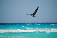 Pelikan som flyger över det karibiska havet i Cancun Mexico Arkivfoto
