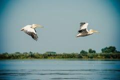 Pelikan som flyger i Donaudeltan, Rumänien arkivfoto