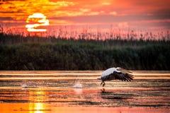 Pelikan som flyger på soluppgång i Donaudeltan, Rumänien arkivbilder