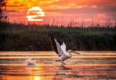 Pelikan som flyger på soluppgång i Donaudeltan, Rumänien royaltyfria foton