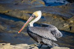 Pelikan som kliver upp arkivfoto