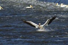 Pelikan som in kommer för att landa Arkivbild