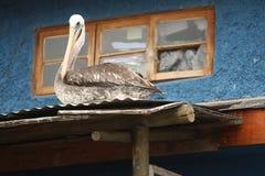 Pelikan som kyler på en trämarkis royaltyfria foton