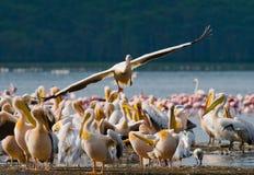 Pelikan som lågt flyger över sjön Lake Nakuru kenya _ Arkivfoto