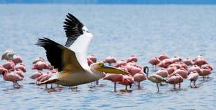 Pelikan som lågt flyger över sjön Lake Nakuru kenya _ Royaltyfri Bild