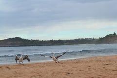 Pelikan som lyfter av Royaltyfria Bilder