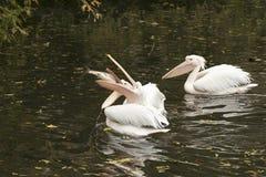 Pelikan som slåss för att en stor fisk ska äta Royaltyfri Foto