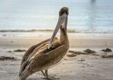 Pelikan som strosar på stranden på Naples Florida Royaltyfri Fotografi