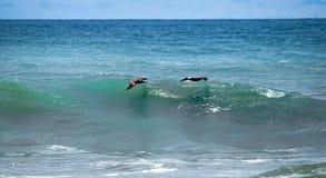 Pelikan som surfar över vågorna Arkivfoto