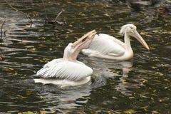 Pelikan som sväljer en stor fisk i hans näbb Arkivfoto