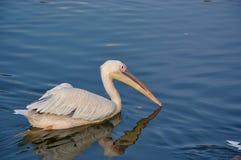 Pelikan som svävar på vattnet Royaltyfri Fotografi