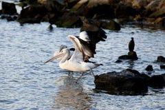 Pelikan som tar av Royaltyfri Bild