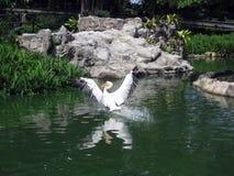 Pelikan som tar av på sjön Royaltyfria Foton