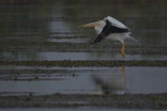 Pelikan som tar flyg Arkivbilder