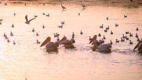 Pelikan som tillsammans fiskar och jagar i vatten på gryning arkivfilmer