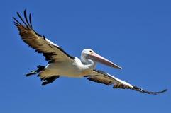 Pelikan-Spannweite stockbilder