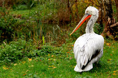 pelikan stående Royaltyfri Bild
