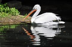 Pelikan stående Arkivbilder