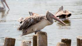 Pelikan står på timret royaltyfri foto