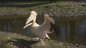 Pelikan steht mit ausgestreckten Federn Lizenzfreie Stockbilder