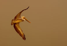 Pelikan steigt in Nebel ein Lizenzfreie Stockbilder