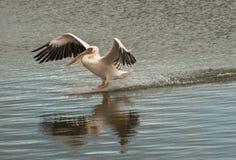 Pelikan stiger ned till yttersidan av vattnet Arkivbild