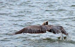 Pelikan - ta av Royaltyfri Foto