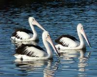 pelikan tre Arkivbilder