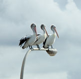 pelikan tre Arkivfoton