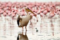 Pelikan trocknet seine Flügel Stockfotografie