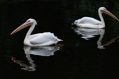 pelikan två Fotografering för Bildbyråer