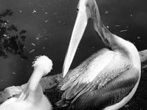 Pelikan två Royaltyfria Bilder