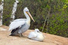 Pelikan två (vita fåglar) med långa näbb sitter nära vattnet och Arkivbild