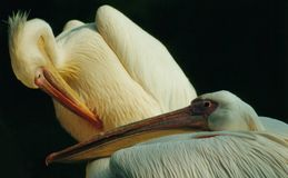 Pelikan. Two grey pelican in front of black Stock Image
