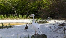 Pelikan und Enten Stockfoto