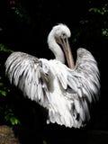 Pelikan und Federn Stockbild