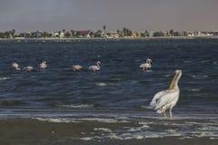 Pelikan und Flamingo, Namibia Stockfotografie