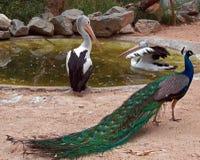 Pelikan und Pfau in Adelaide Australia Lizenzfreies Stockbild