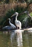 Pelikan und Reiher stockfotografie