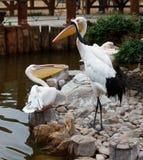 Pelikan und Rot-gekrönter Kran Stockfotos