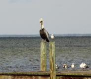 Pelikan und Seemöwe Stockfotografie