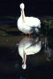 Pelikan und seine Reflexion Stockfotos