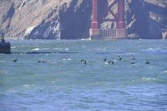 Pelikan under golden gate bridge Royaltyfria Foton