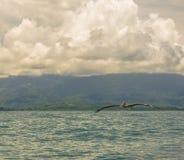 Pelikan ut på havet Arkivfoton