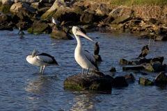 Pelikan & vänner Royaltyfri Bild