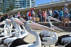 Pelikan - vattenfåglar Royaltyfri Fotografi